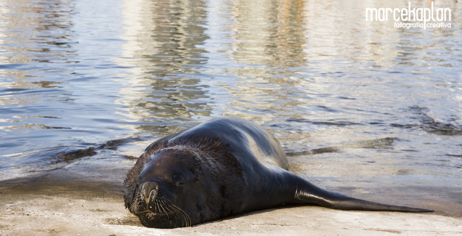 Lobo de mar en el puerto de Punta del Este, Uruguay - Marce Kaplan | Fotografía Creativa