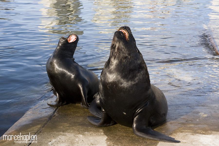 Lobos marinos bostezando en Punta del Este, Uruguay - Vienen de la Isla de Lobos - Marce Kaplan | Fotografía Creativa