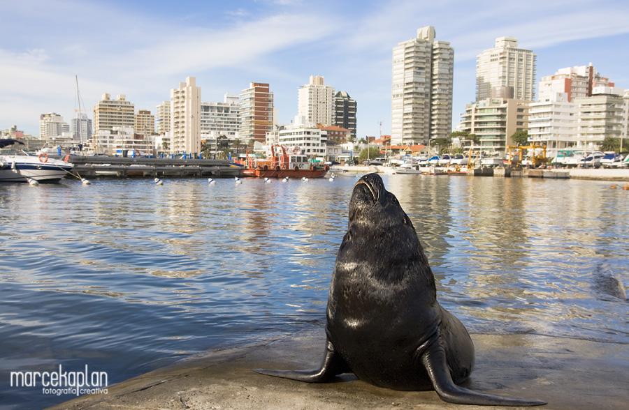 Lobo marino en el puerto de Punta del Este, Uruguay - Marce Kaplan | Fotografía Creativa
