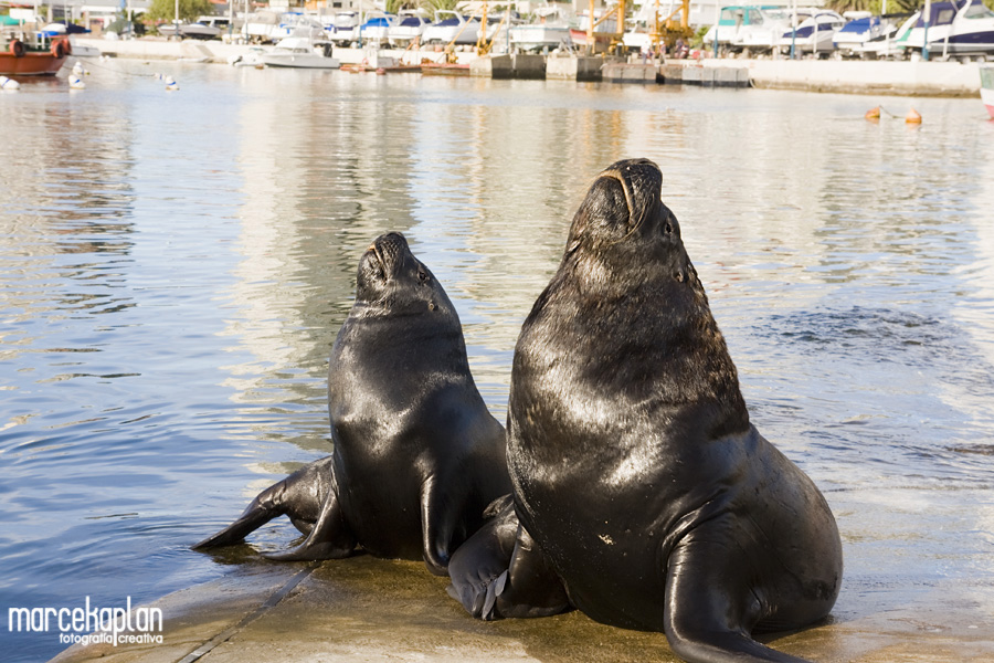 Lobos marinos en Punta del Este, Uruguay - Llegan de la Isla de Lobos - Marce Kaplan | Fotografía Creativa