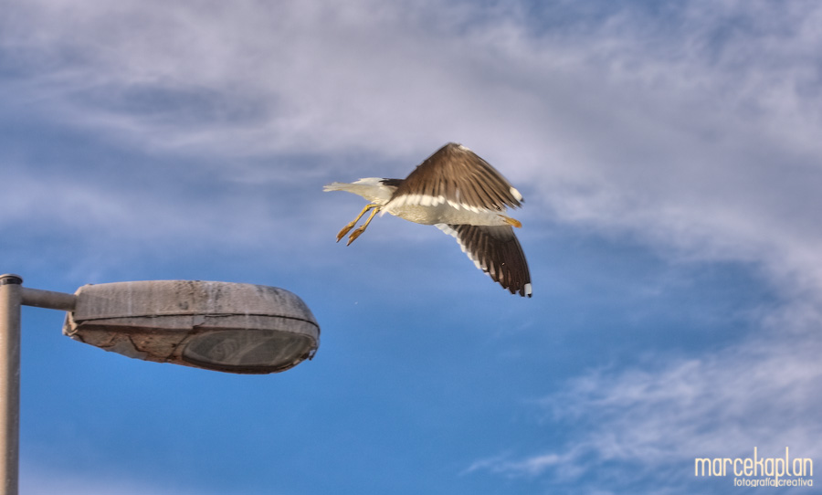 Gaviota volando - Aves de Uruguay - Fotógrafo Marce Kaplan | Fotografía Creativa
