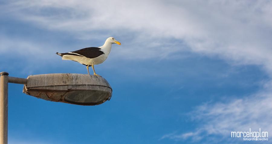 Gaviota en Punta del Este - Aves de la Costa Atlántica - Marce Kaplan | Fotografía Creativa