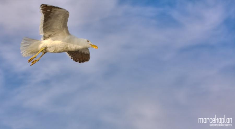 Gaviota volando en Punta del Este, Uruguay - Aves de Uruguay - Marce Kaplan | Fotografía Creativa