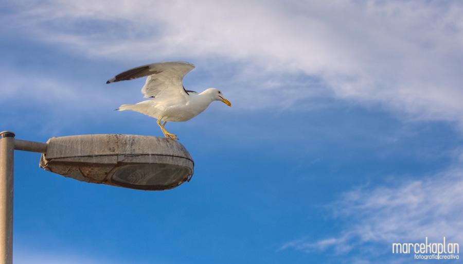 Gaviota comenzando su vuelo - Aves de Uruguay - Fotógrafo Marce Kaplan | Fotografía Creativa