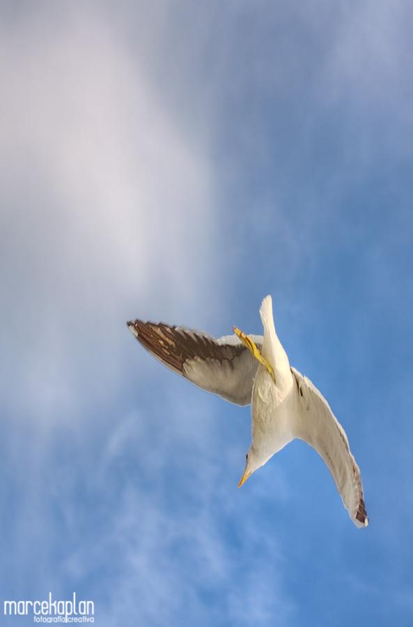 Vuelo de Gaviota - Aves y pájaros de Uruguay - Fotógrafo Marce Kaplan | Fotografía Creativa